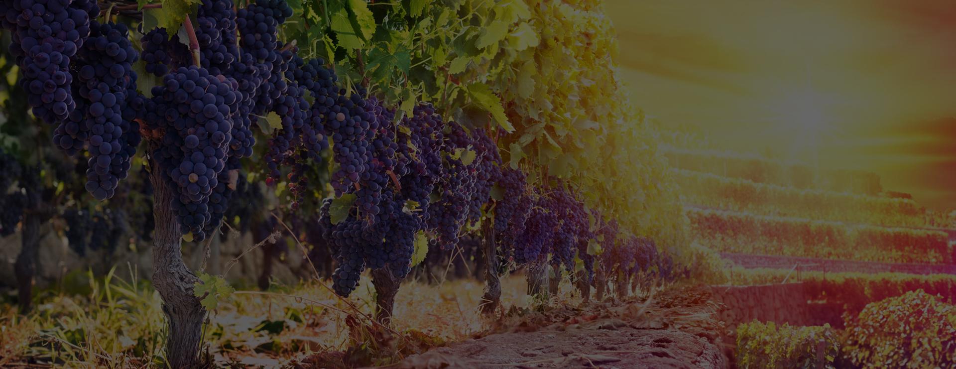 cudze chwalicie winnice
