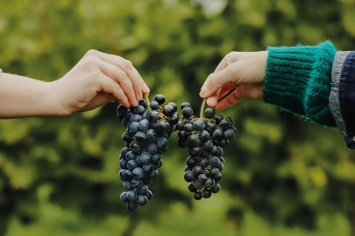 cudze chwalicie lipka wielka winnica